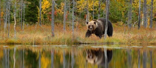 Brown bears in Sweden