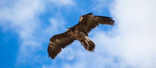 Black vultures in Portugal
