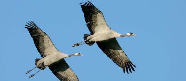Cranes and bald eagles
