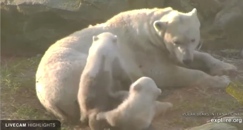 Polar bear with her two cubs.
