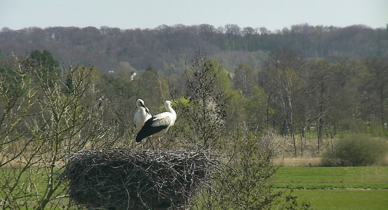 Storks look out from their nest.